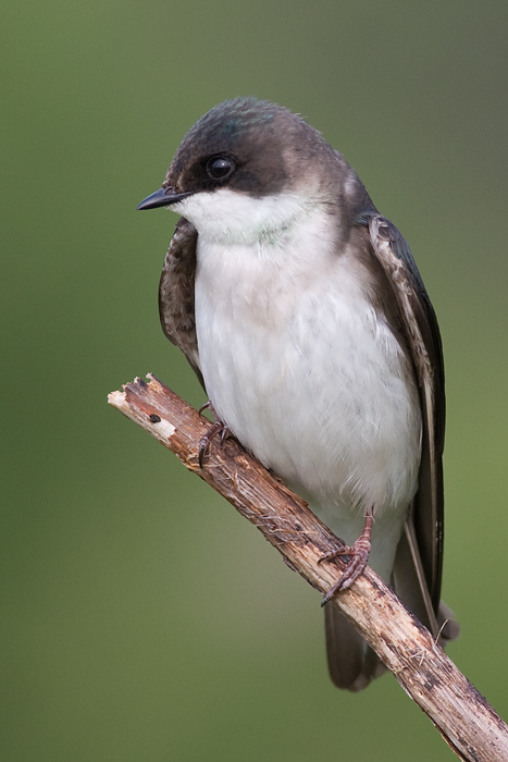 tree swallow 227