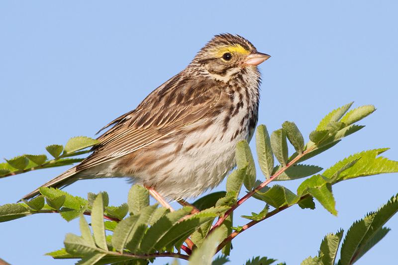 savannah sparrow 57