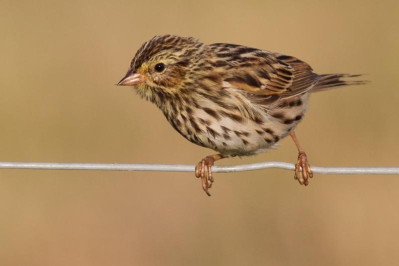 savannah sparrow juvenile 7