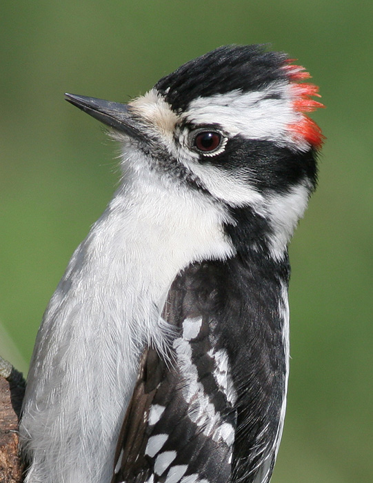 downy woodpecker 454