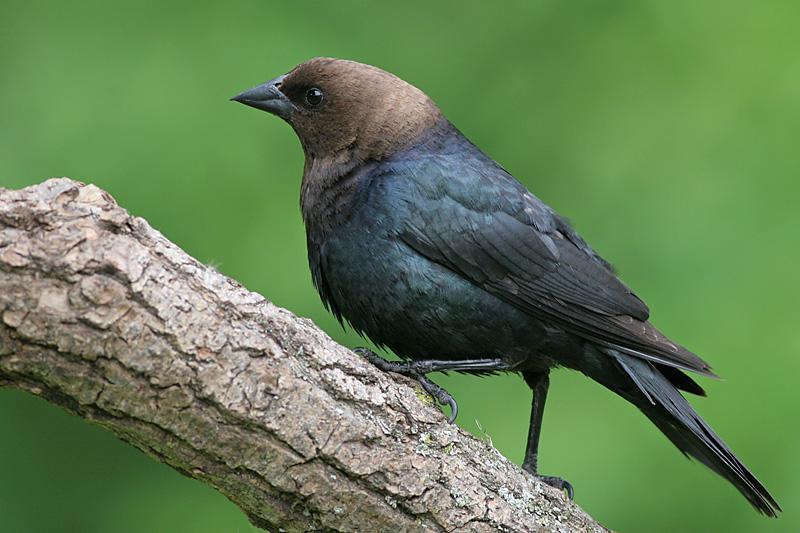 Cowbird - male