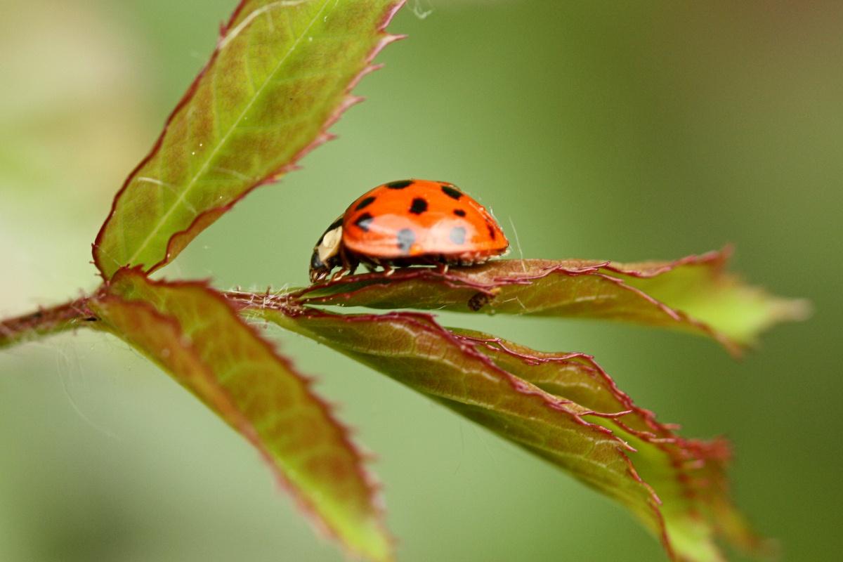 Ladybug<BR>June 4, 2008