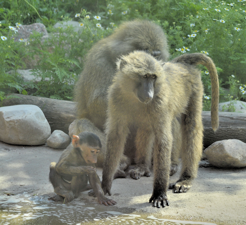 Une famille de babouins