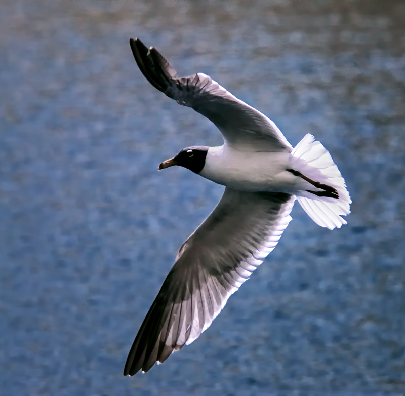 Ir Gull Inflight.jpg