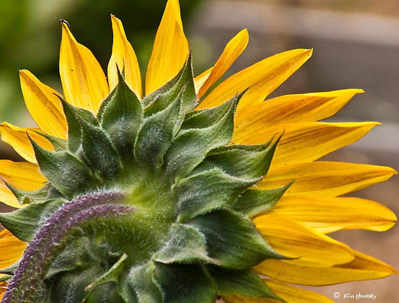 Back of the Sunflower