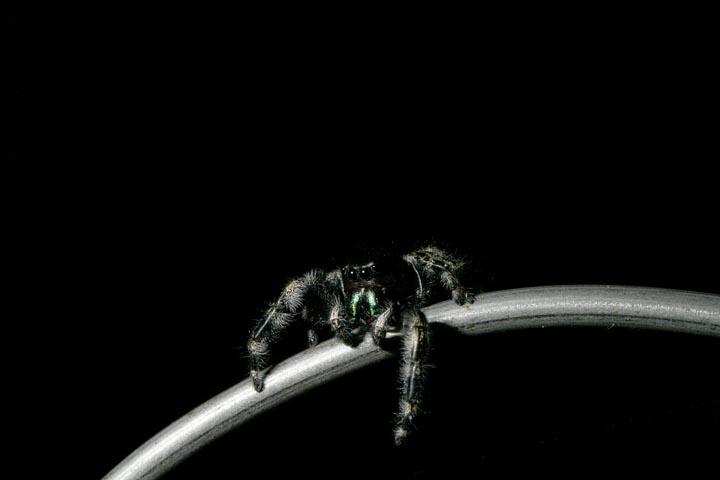 Phidippus audax (Bold Jumping Spider)