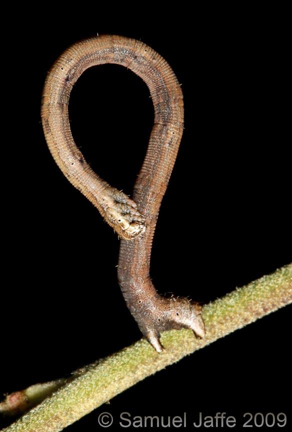 Scopula limboundata - Large Lace Looper