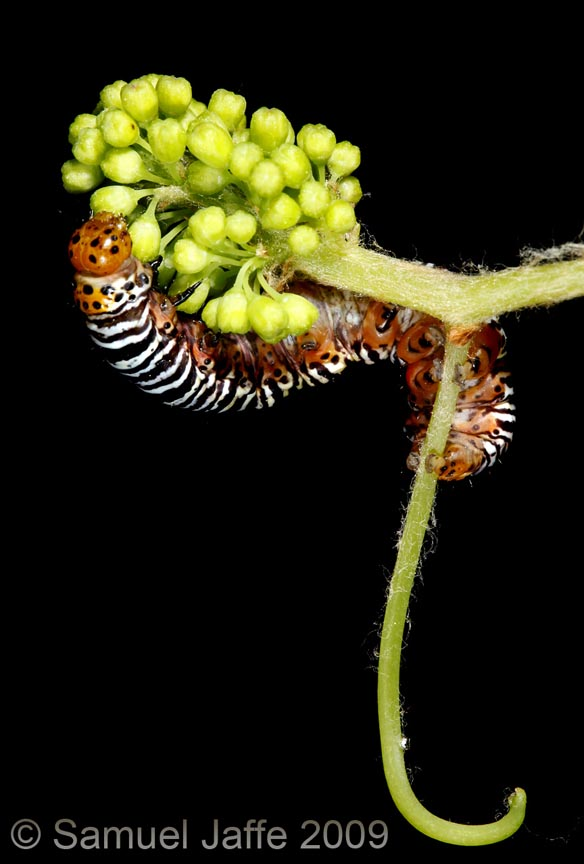 Psychomorpha epimenis - Grapevine Epimenis