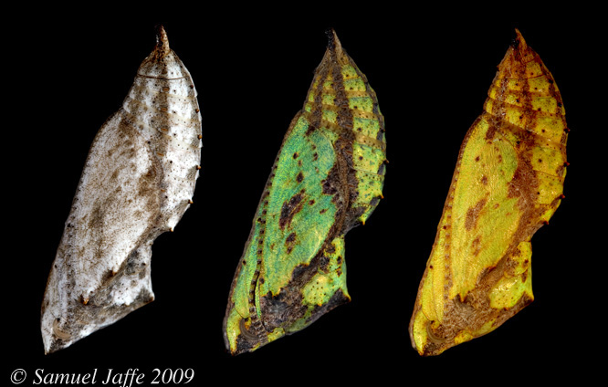 Three Ladies - three different color morphs near eclosion
