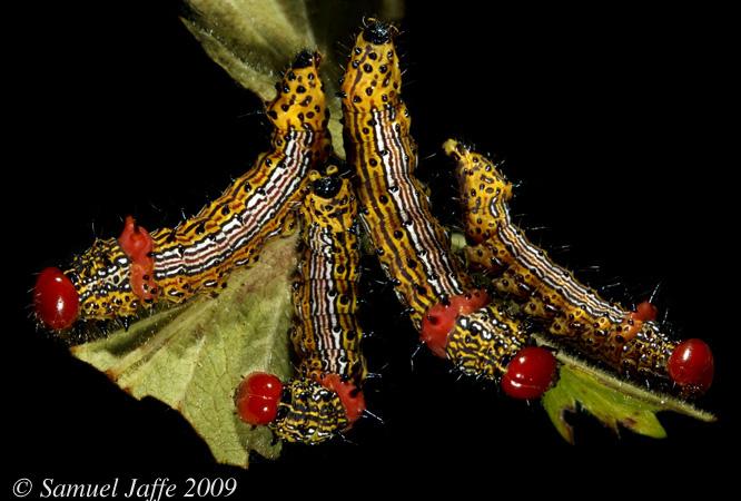 Schizura concinna - Red-humped Caterpillar