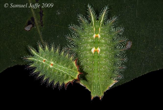 Isa textula - Crowned Slug