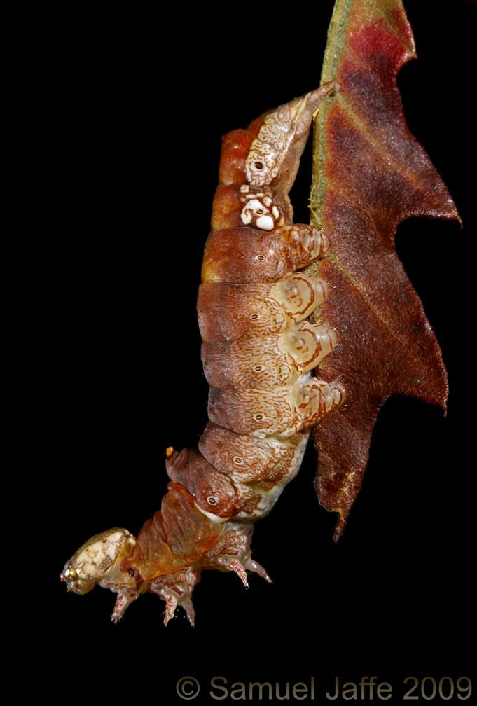Oligocentria lignicolor - Lace-capped Caterpillar