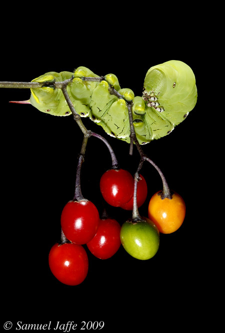 Manduca Hornworm - Nightshade Berries