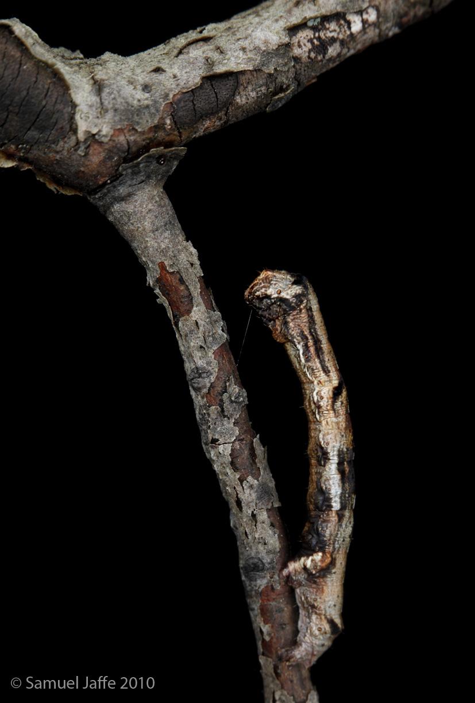 Ectropis crepuscularia - Saddleback Looper