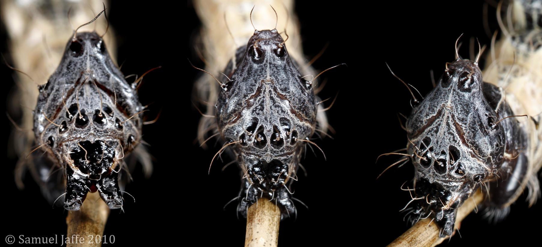 Spider Mimic