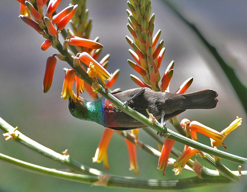 Mariqua Sunbird