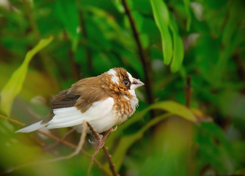 Society Finch - Birds of Florida