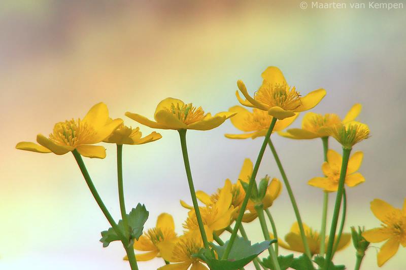 Marsh marigold <BR>(Caltha palustris)