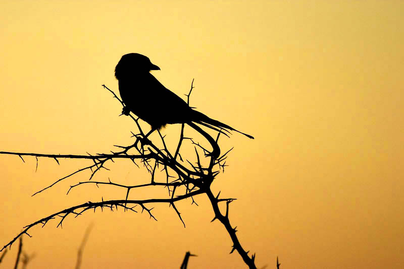 Nottens - Fork Tailed Drongo