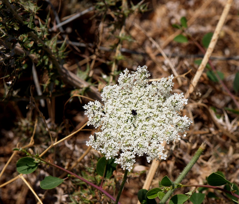 queen ann lace.JPG