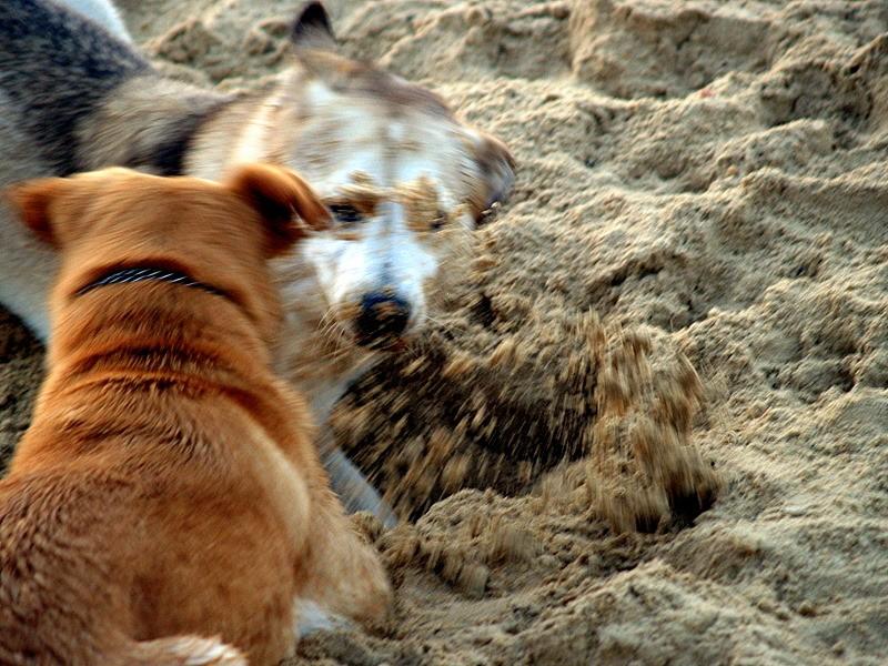 beach dogs sand.jpg