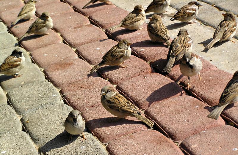 P2110102_sparrows800.jpg
