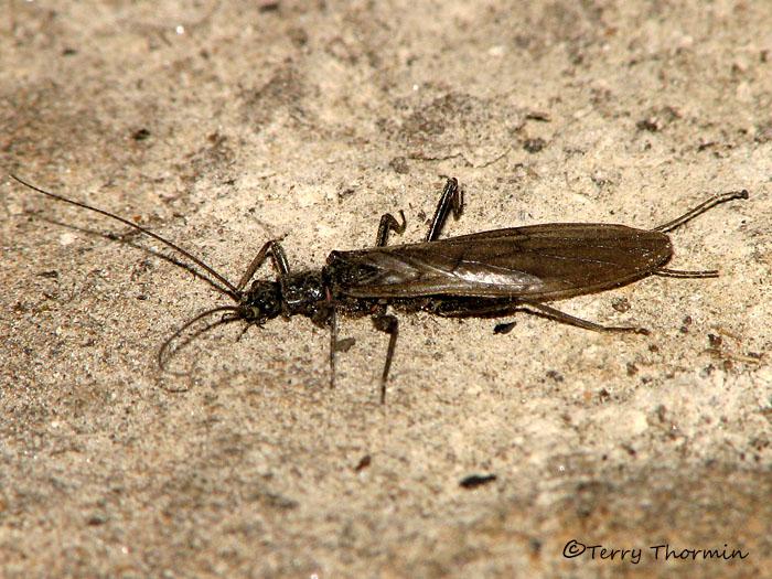 Stonefly A3.jpg