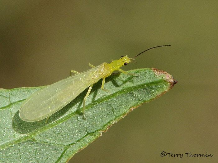 Chloroperlidae - Green Stonefly A4a.jpg