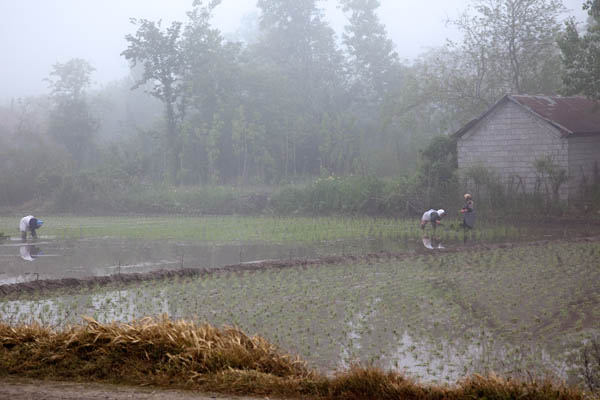 Rice Transplanting in Foggy Paddy