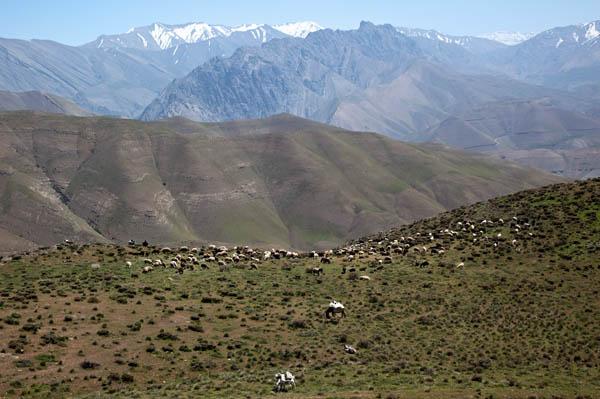 Cattle in Central Elburz Mountains