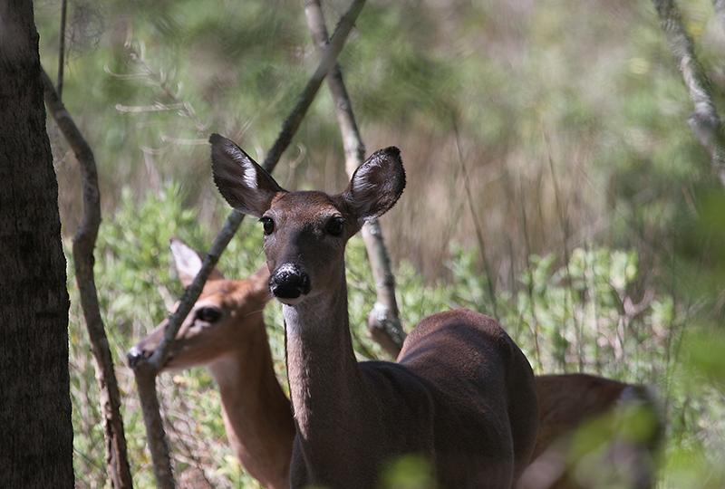 Doe Eyes - Swamp Deer