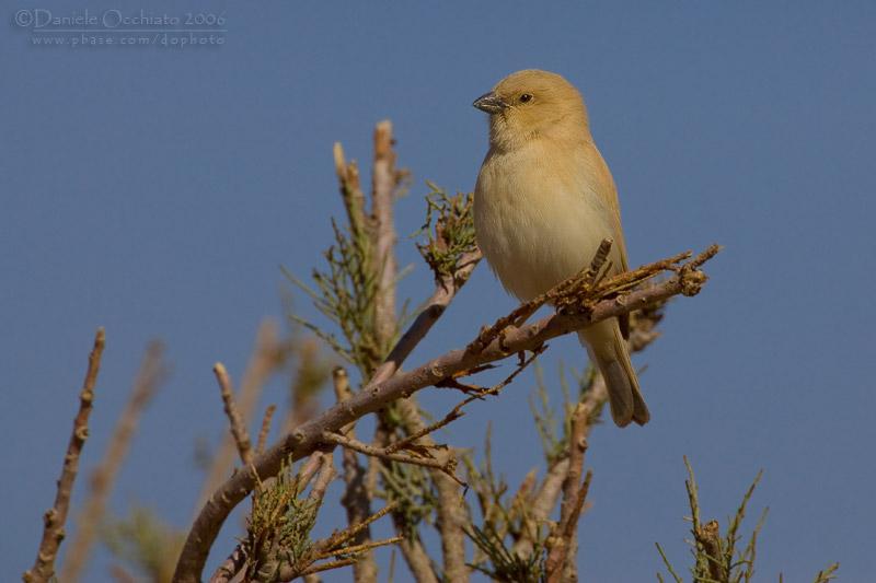 Desert Sparrow (Passer simplex saharae)