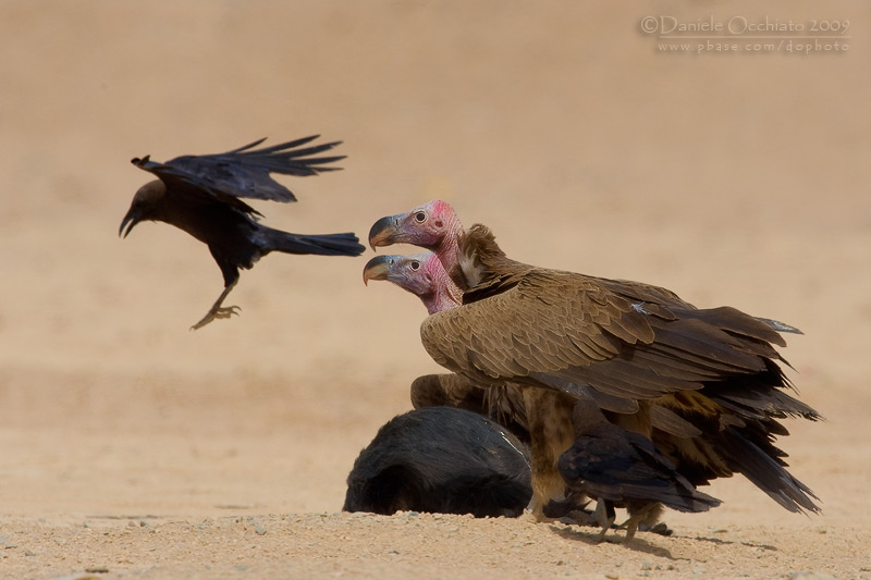 Lapped-faced Vulture (Torgos tracheliotus)