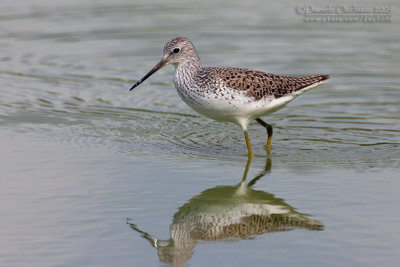 Marsh Stilt (Tringa stagnatilis)
