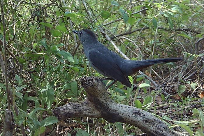 Bath Cam, Gray Catbird