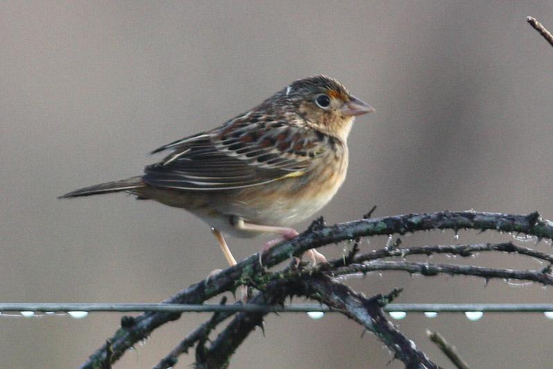 Grasshopper Sparrow, Laf CBC, 12/30/11