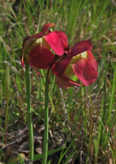 Purple pitcherplant in bloom 2