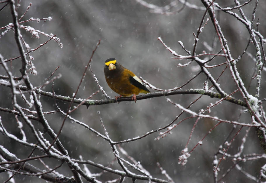 Evening Grosbeak 3958