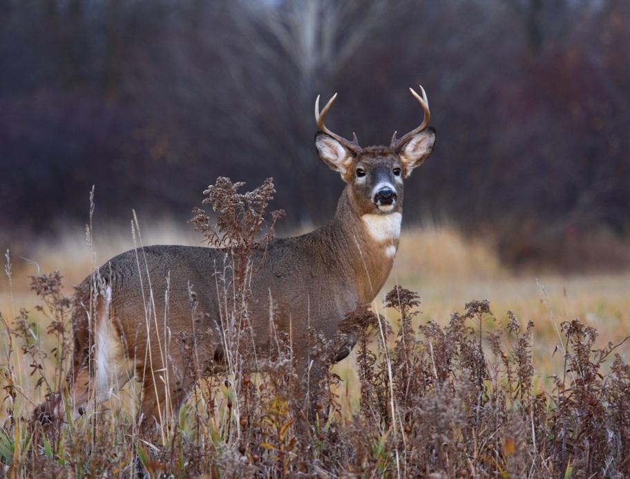 White-tailed Deer 3894