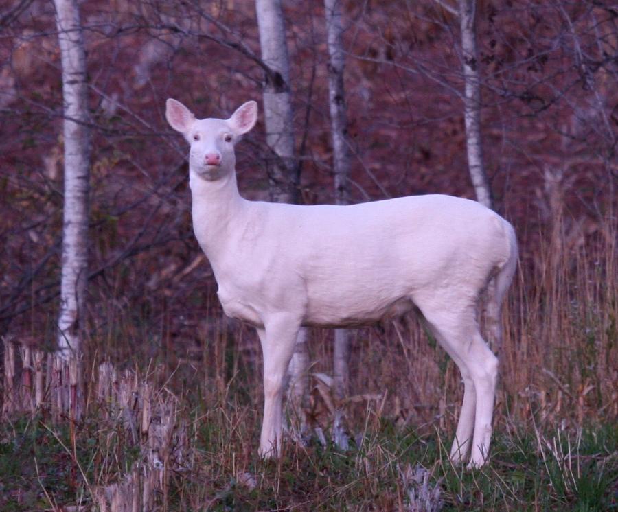 Albino White-tailed Deer 3622b