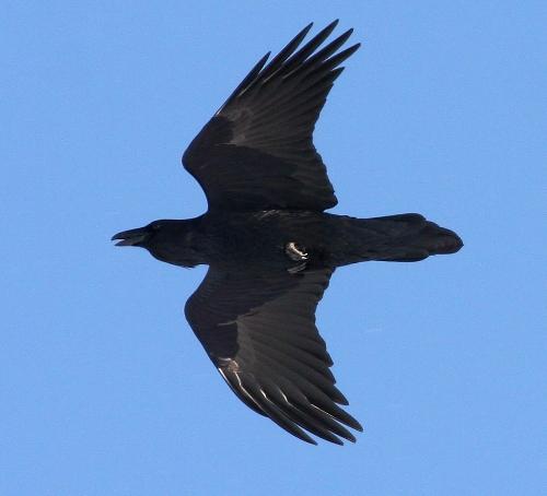 Common Raven 3787