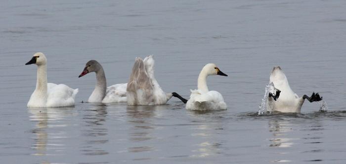Tundra Swans 3696