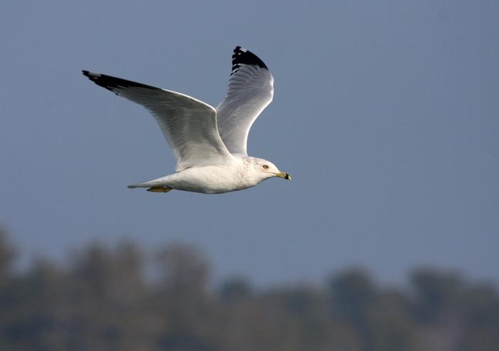Ring-billed Gull 3479