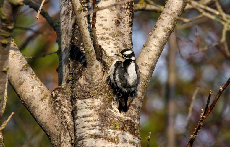 Downy Woodpecker 0351