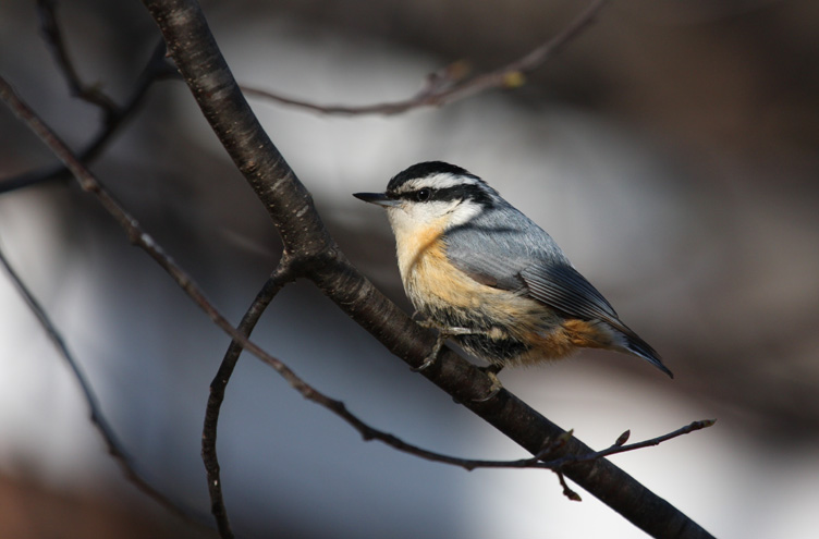 Red-breasted Nuthatch 0549