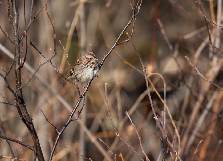 Song Sparrow 0573