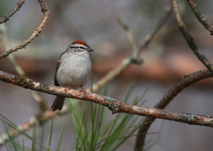 Chipping Sparrow 0664