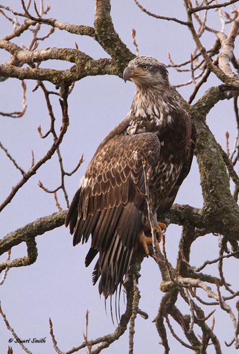 Immature Bald Eagle-0233