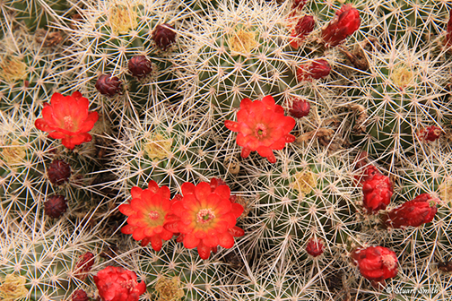 Cactus Blossoms-3664