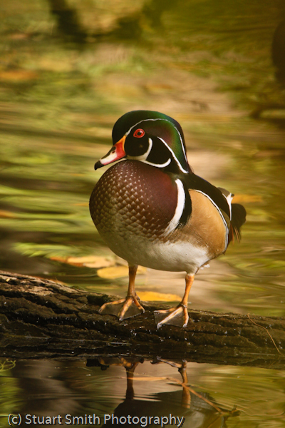 Wood Duck male 1406